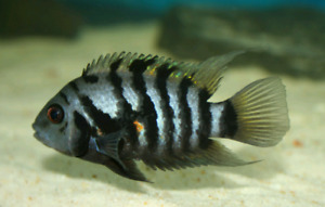 Black Convict Cichlids