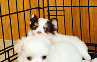 Adorable Toy Chihuahua puppies long coat males and females