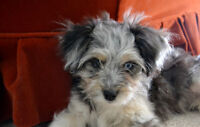 Very loving adorable female Morkie Puppy