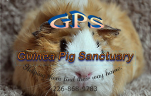 GPS Guinea Pig Sanctuary/Global Pet Foods Adoption Event, Nov 25