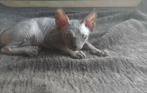 Sphynx Kittens with Health Guarantee
