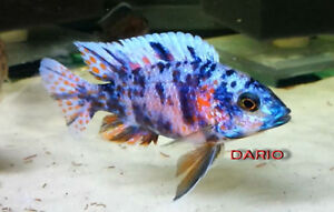 """Blueberry OB Peacock Male 4"""" to 5"""" >>> PRICE DROP !!!!!!!!!!!!!! London Ontario image 2"""