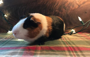 Upcoming Baby GUINEA PIGS For Sale