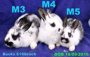 Jodie's Giant Bunnies - Flemish Giants - Mature 5-6+kg GREAT PETS Mount Gambier Grant Area Preview