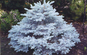 Looking to buy several Dwarf Trees