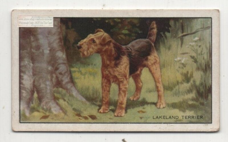 Lakeland Terrier  Dog 75+ Y/O Ad Trade Card
