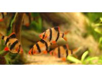 Tiger Barbs 5 for £3