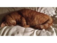 A very homely and loving ginger cat. Needs attention and taken care of.