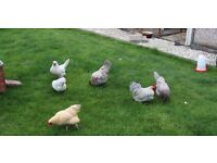 10 assorted chickens hens including breads such as Pekin, Silkie and Buff. £16 Each