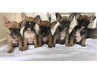 KC registered French bulldog puppies DM HC clear!! X