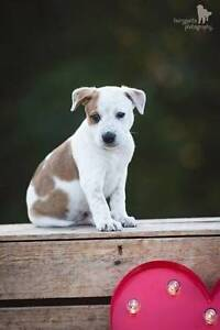 ADOPT ME - Edward cattle dog x kelpie North Maclean Logan Area Preview