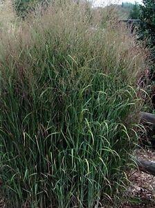 Tall Ornamental Grass Plants for sale