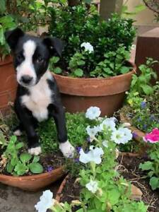 Border collie x Kelpie puppy