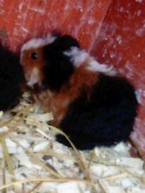 last little guinea pig