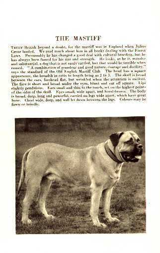 Mastiff - 1931 Vintage Dog Print - MATTED