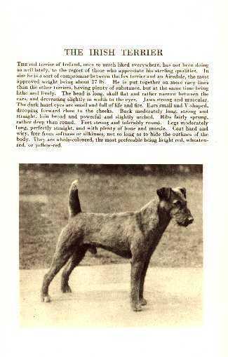 * Irish Terrier - 1931 Vintage Dog Print - MATTED