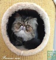 "Young Female Cat - Persian: ""Precious"""