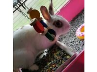 Rabbit with ALL items: cage/toys/food/leash