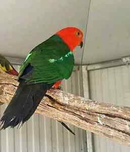 ***LOST*** - MALE KING PARROT - Morisset Lake Macquarie Area Preview
