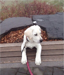 White Labrador male puppy  - CKC registered