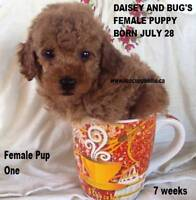 Toy / Tiny Toy Poodle Red Puppies CKC Registered