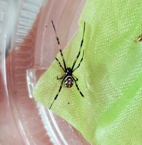 Southern black widow spider (Latrodectus) ~Feeder Insect~