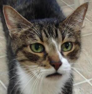 """Senior Male Cat - Tabby: """"Conway"""""""