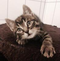 """Baby Male Cat - Domestic Short Hair: """"Frankie"""""""