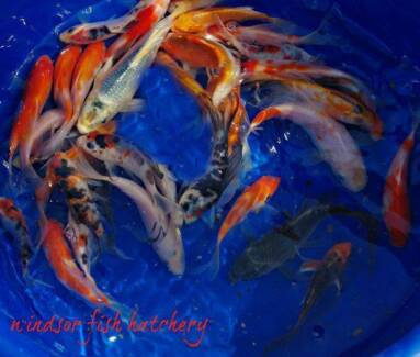 New Koi  instore from $8 Windsor Hawkesbury Area Preview