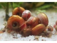 Aquarium Ramshorn Snails 10 for £5