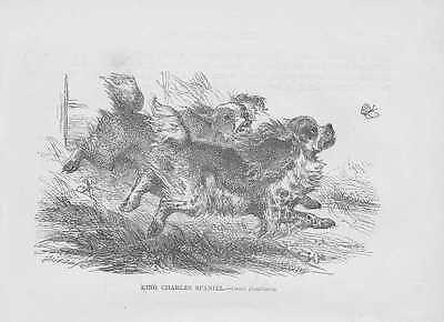 King Charles Spaniel Malteser HOLZSTICHE von 1863 Hunderassen wood engraving