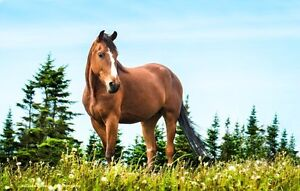 4 year old Morgan Horse cross for sale