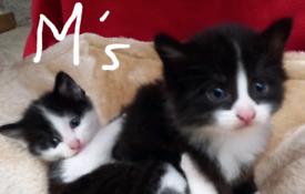 2 Beautiful fluffy kittens part Ragdoll