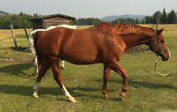 18 yr. old solid Paint gelding