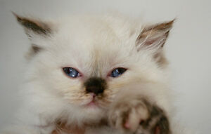 Two Female Himalayan Kittens Ready to go!!! Enfield Area