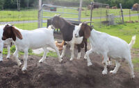 Pure Bred and Registered Boer Goats