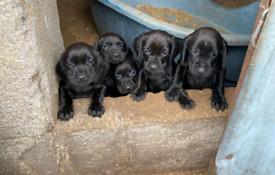 Cocker cross pups