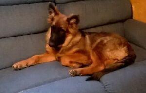 CKC registered male German Shepherd puppy