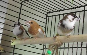 3 male society finches