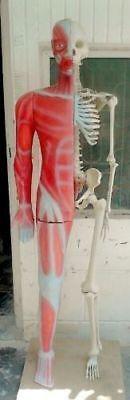 (Human showing muscle cum skeleton anatomic model half skeleton )