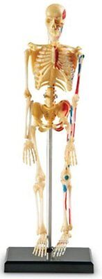 Model Skeleton Anatomical Human Anatomy Medical Stand Skull Quality Teaching