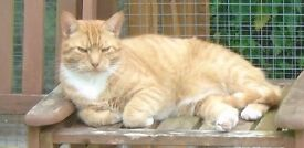 Missing from IP7 William Ginger and White male cat white bib and 4 white paws grumpy face