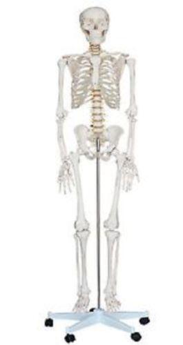 Medical Skeleton   eBay