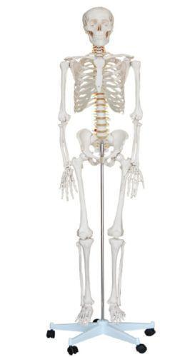 Human Anatomy Model | eBay