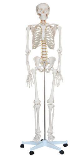 Anatomy Skeleton | eBay