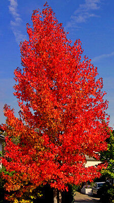 50 Samen Amberbaum (Liquidambar styraciflua), Seesternbaum, als Bonsai geeignet