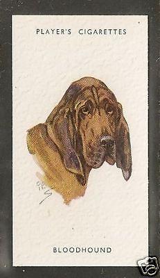 1940 UK Peter Biegel Dog Art Head Study Player Cigarette Card BLOODHOUND