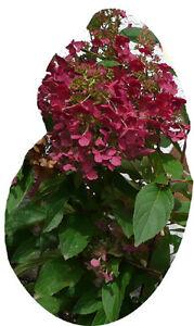 rispenhortensie wims red pflanze hortensie bl ten in. Black Bedroom Furniture Sets. Home Design Ideas