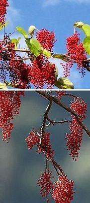 Orangenkirsche seltene exotische Zimmerpflanze leckere geniale Obstpflanze Deko