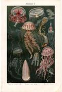 Live Jellyfish